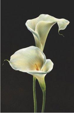 Калла, Цветы