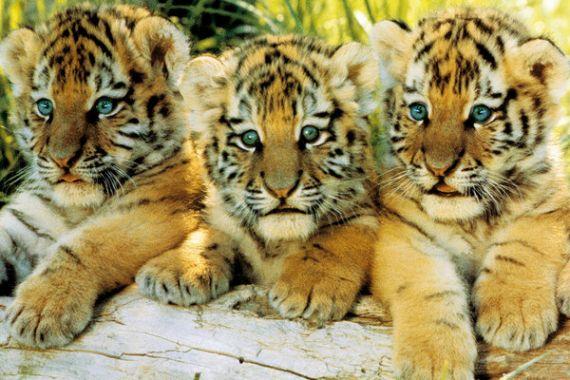 Тигр, Тигрята